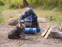A beautiful miniature schnauzer lies near a prepared fire. Summer trip to nature with a dog. Summer trip. A wonderful summer vacation in nature with your stock photography
