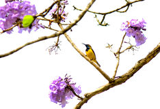 Wonderful sunbird with green ebony flower Royalty Free Stock Photo