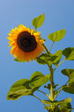 Wonderful Sunflower Royalty Free Stock Photo