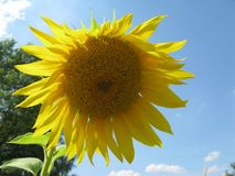 Wonderful Sunflower summer day. Royalty Free Stock Image
