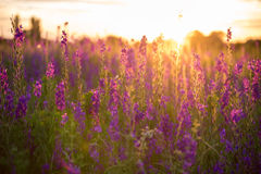 Wonderful sunset. fantastic colorful landscape with blue and pin. K lupine flowers in summer stock images