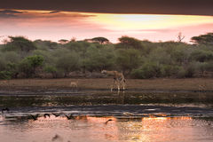 Wonderful sunset,  Kruger national park, SOUTH AFRICA. Kruger national park, South Africa, wonderful sunset, girafe drinking water in the river bank Stock Photo