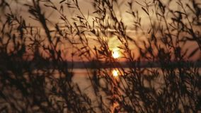 Wonderful sunset through the reeds on the lake, wind is moving the reeds. Nature beauty, summertime. Happy moments.