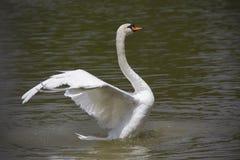Wonderful swan in the lake. stock photo