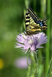 Wonderful Tiger Swallowtail butterfly on pink flower Royalty Free Stock Image