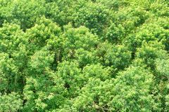 Wonderful top view of mangrove forest. Bright green foliage. Of trees on summer sunny day. Amazing woods royalty free stock photography
