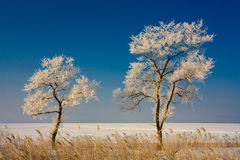 Wonderful trees covered with rime Stock Images