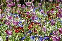 Wonderful tulip blossom Royalty Free Stock Photography