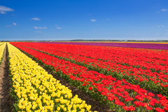 Wonderful tulip field rows with sky horizon Stock Photography