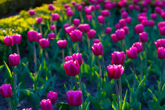 Wonderful tulips. Royalty Free Stock Photography