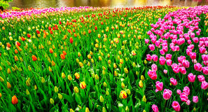 Wonderful tulips spectacle at the  Keukenhof Gardens. Royalty Free Stock Photos