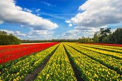 Wonderful tulips by springtime. Keukenhof Gardens. Stock Photography