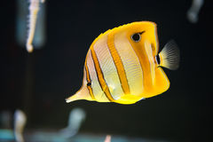 Wonderful underwater Marine fishes Royalty Free Stock Image