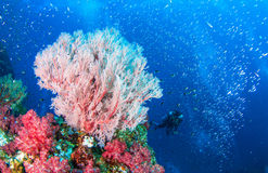 Wonderful underwater and seafan. Wonderful underwater world with seafan and vibrant colors of corals and Scuba Diver backdrop, Scubadiving Underwater seascape Stock Photos
