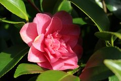 Wonderful Vibrant Camellias with Shining Leaves royalty free stock image