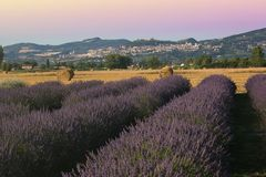 Wonderful view of lavender field at sunset in Assisi Stock Photography