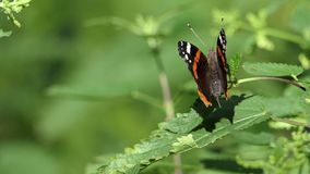 A beautiful butterfly with long antennae sits on a green twig. A wonderful view of a multicolored and striped butterfly which sits on a green twig of some bush stock footage