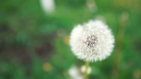 Beautiful dandelion with white blowballs in a green meadow in slow motion stock footage