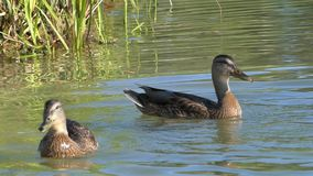 Brown and black ducks swim in the lake in summer. A wonderful view of two brown ducks swimming in the lake in summer. The sparkling lake waters look impressive stock video footage