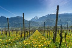 Wonderful view of vineyards in spring with yellow flowers and endless rows of vines. Near Maienfeld in southeastern Switzerland stock photo