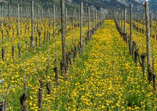 Wonderful view of vineyards in spring with yellow flowers and endless rows of vines stock photo