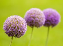Three blooming allium bulbs on green background. Wonderful violet allium bulbs in sunny park in Vizille near Grenoble, France Royalty Free Stock Photos