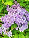 Wonderful violet blue flowers of a Rhododendron bush. In bloom during summer Stock Images