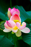 Wonderful water lilies Stock Images