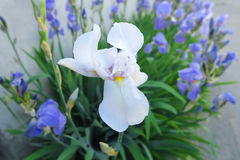Wonderful white and blue irises in June. Beautiful blue irises in full bloom, in summertime, giving away soft aroma, presence of abundant natural splendor, a Royalty Free Stock Photo