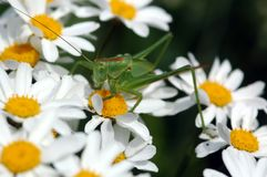 Green Grasshopper on white daisies, close-up royalty free stock photo