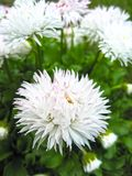 Wonderful white flower on the field.  royalty free stock images