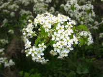 A wonderful white flowers of cherry blossoms.  stock photography