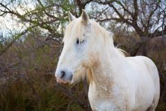 Wonderful White Horse With Yellow Hair On The Hair Royalty Free Stock Image