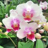 Wonderful white and pink colored orchid flowers. In bloom at a botanical garden Royalty Free Stock Photos