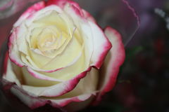 A wonderful white-pink rose Stock Photography