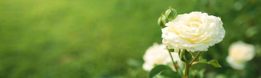 Free Wonderful White Rose Flower Blooming On Bush In The Sunset Garden Stock Images - 173986864