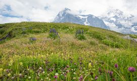 Wonderful wildflower meadow swiss alps, view to famous eiger north face. Switzerland royalty free stock images