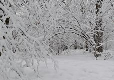 Wonderful winter forest. Snow arch. Wonderful winter forest. The trees leaned toward the ground. Snow arch royalty free stock image