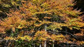 The wind blows on the leaves of the beeches now yellowed by autumn stock video