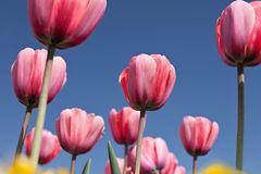 Wonderful world of tulips. Field of red tulips with a blue sky Stock Photography