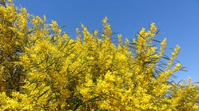 Wonderful mimosa bloom in spring, Royalty Free Stock Photo