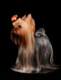 Wonderful Yorkshire Terrier Royalty Free Stock Photography