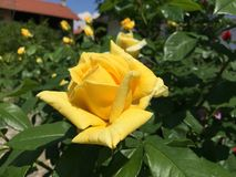 Wonderfull黄色玫瑰 免版税库存照片