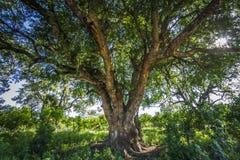 Wonderfull drzewo w backlit w Kruger parku narodowym, Południowa Afryka Obrazy Royalty Free