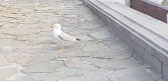 Wonderfull seagull i Nesebar den gamla staden arkivfoton