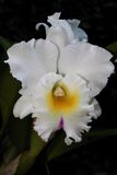 Wonderfull white orchid. This is a big and beautiful white orchid Stock Image