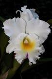 Wonderfull witte orchidee Stock Afbeelding