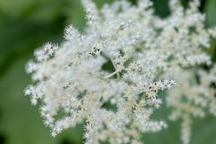 Wonderfully colored AzaleasFlowers of elderberry. Flowers of elderberry with a beautiful, pure white color stock images