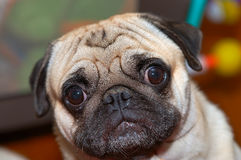 Wondering. Pug wondering with eyes wide open Stock Image