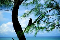 Wondering crow. Royalty Free Stock Photography